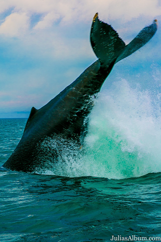 Whale tail, whale breaching into the ocean, Brier Island whales, Canada travel, Canada Summer
