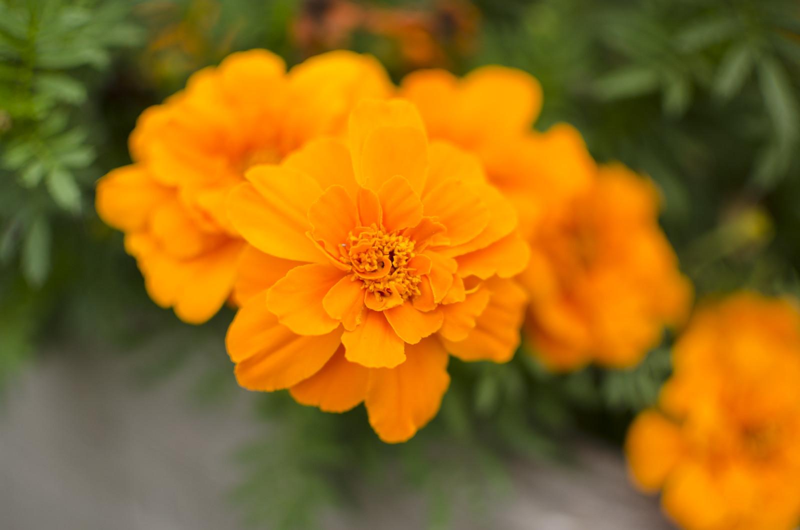 marigold dye 1