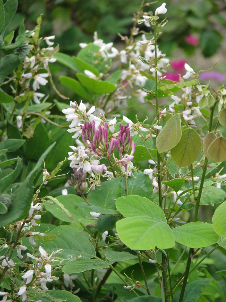 Desmodium elegans album and Lonicera hispidula