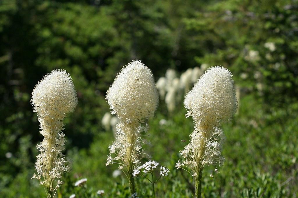 Beargass (Xerophyllum tenax)