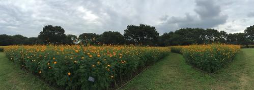 Cosmos Panorama View at Showa Memorial Park, Tokyo, Japan