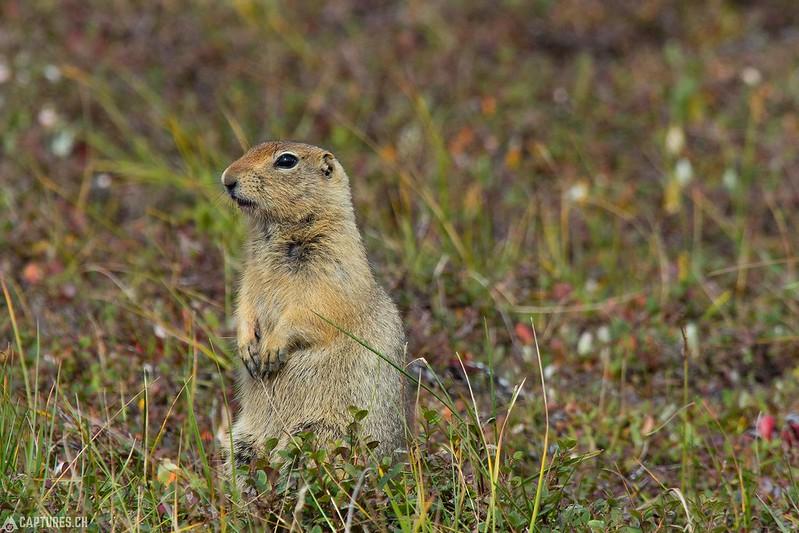 Arctic ground squirrel - Denali National Park