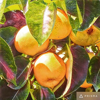 #prisms #asianpears