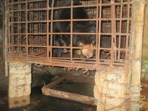The little sun bear in the tiny cage for years (1)