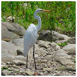 Eastern-great-egret