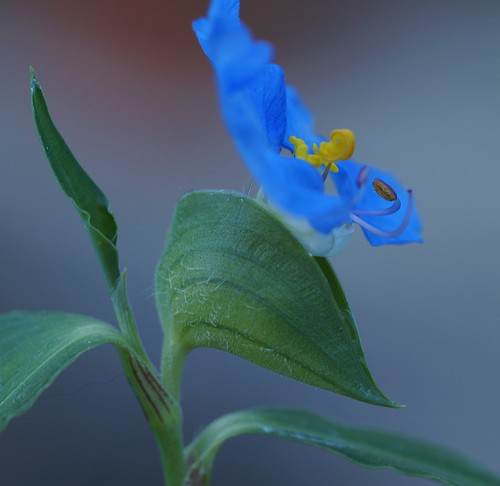 Commelina sp (N0942) 29728841490_29d73a5f68