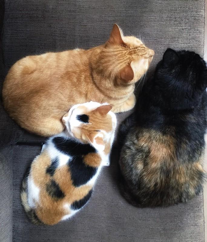 #cat #cats #catsofinstagram #catstagram #instacat #instagramcats #neko #nekostagram #猫 #ねこ #ネコ ネコ部 #猫部 #ぬこ #にゃんこ #ふわもこ部 #茶トラ #サビ猫 #三毛猫