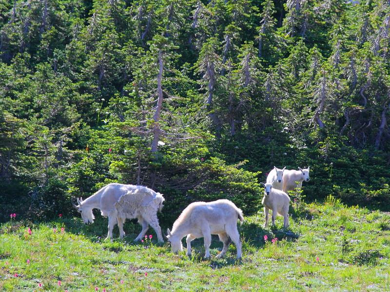 IMG_3315 Mountain Goats