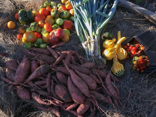 todays harvest IMG_8189
