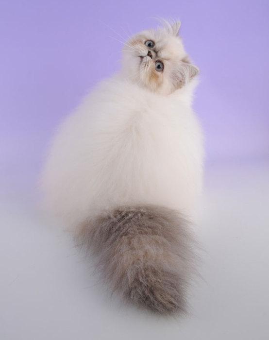 Гималайская кошка - ПоЗиТиФфЧиК - сайт позитивного настроения!