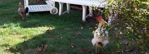 Dame poule, Héglantine & Helwen la petite chienne au jardin
