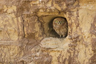 Little Owl (Athene noctua) | by doritbz