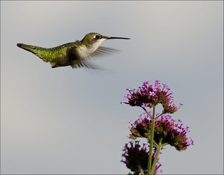 Hummingbird at vervain 2 | by Jen St. Louis