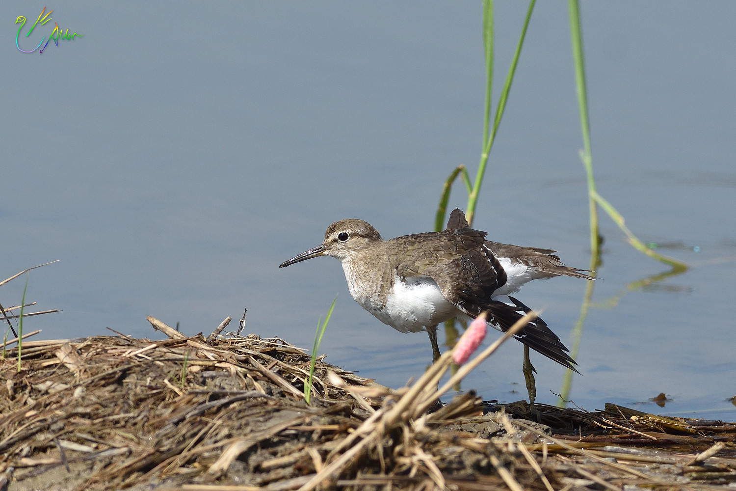 Common_Sandpiper_8708