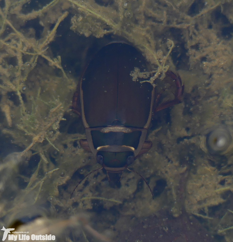 P1040915 - Great Diving Beetle, Pembre