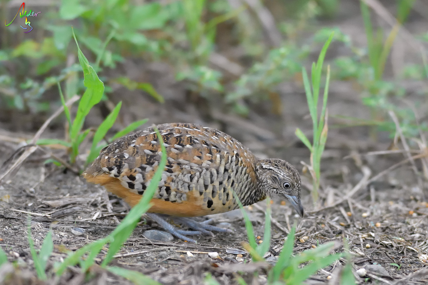 Barred_Buttonquail_1218