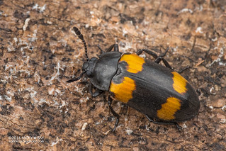 Pleasing fungus beetle (Episcapha cf. quadrimacula) - DSC_0435