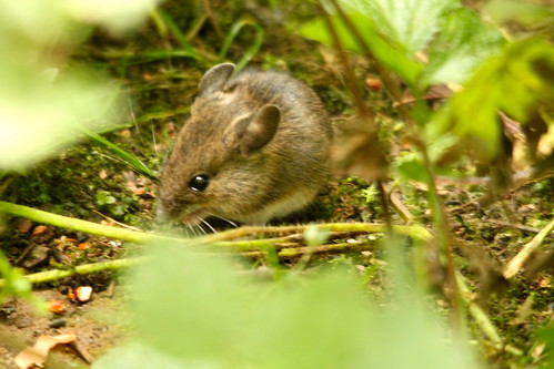 Wood Mouse | by S C photos