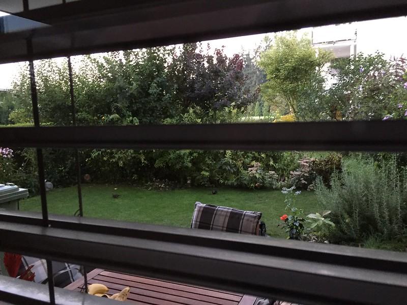 M - Blackbirds in garden