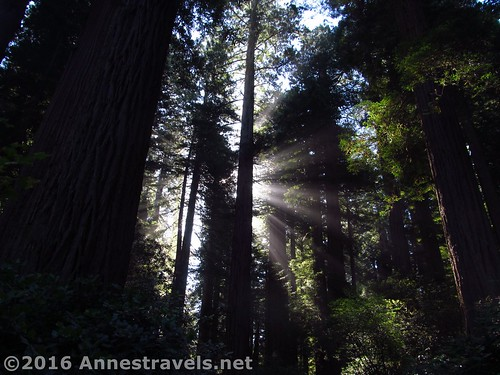Early morning in the Redwoods, Lady Bird Johnson Grove, California