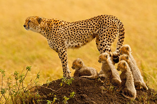 """The Matriarch"" - Cheetah with 5 cubs in the Masai Mara 