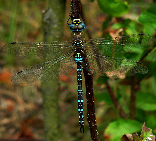 Migrant Hawker ( male) | by Glenn McNaughton
