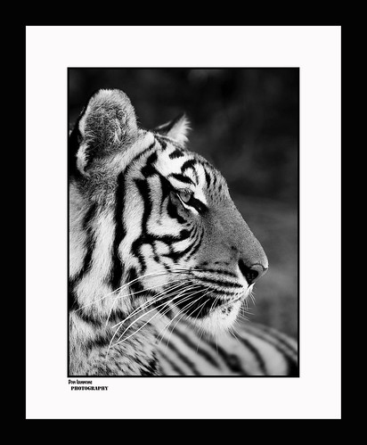 Tiger in Black and White | by Don Iannone