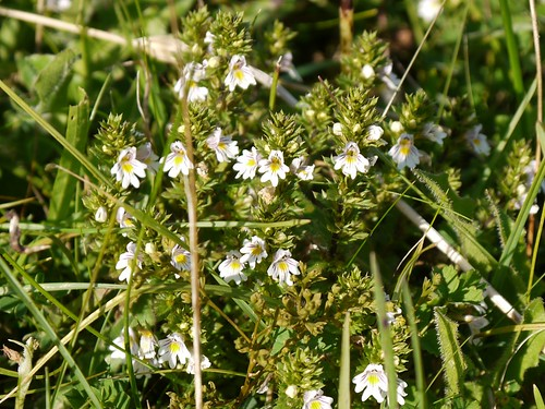 Eyebright (Euphrasia sp.), Fontmell Down, Dorset | by P_L_Wood