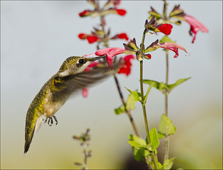 Hummingbird at salvia 2 | by Jen St. Louis