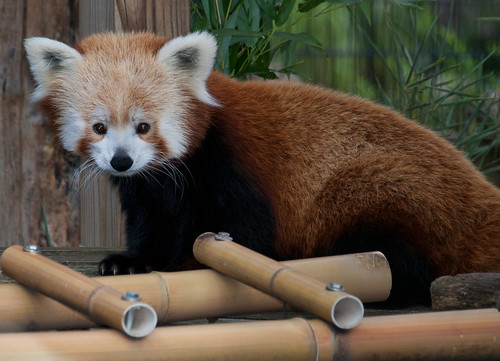 Red panda 01 | by Podsville