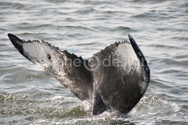 Friendly Humpback whale encounter!
