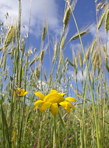 Arable Wildflower | by Cath Scott