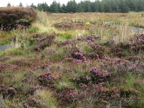 Bog heather in the Antrim Glens, Ireland, UK