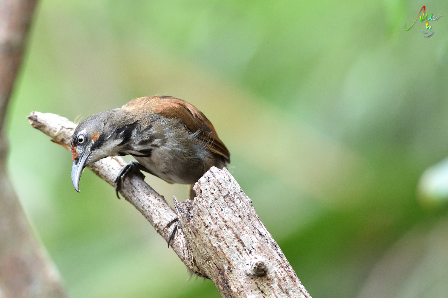 Rusty-cheeked_Scimitar_Babbler_5334