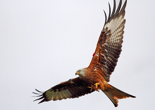 Red Kite | by lintonthelion