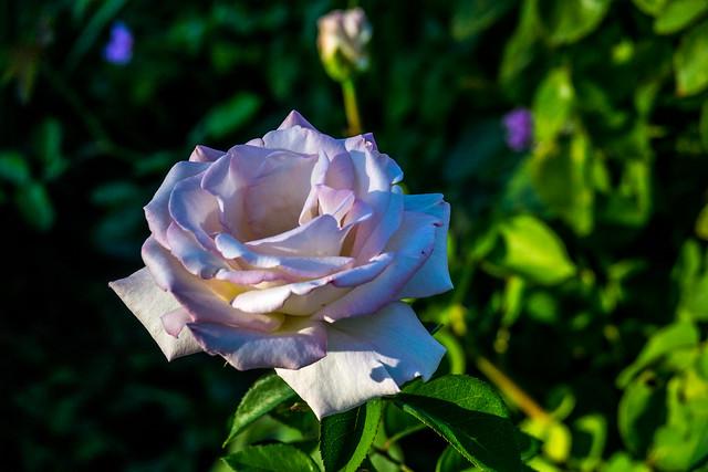Rose in Los Gatos