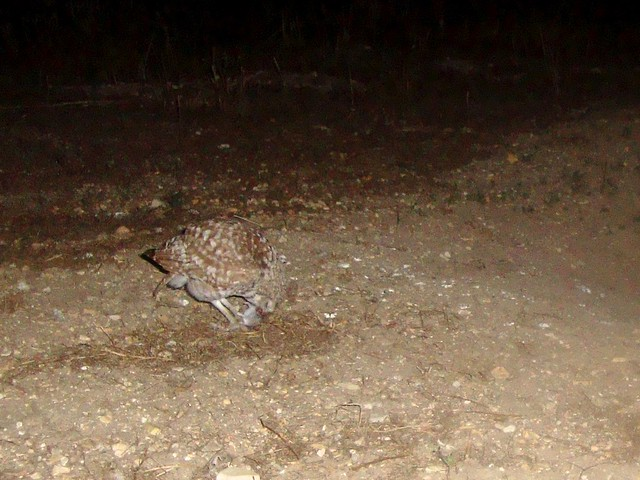 burrowing owls 4