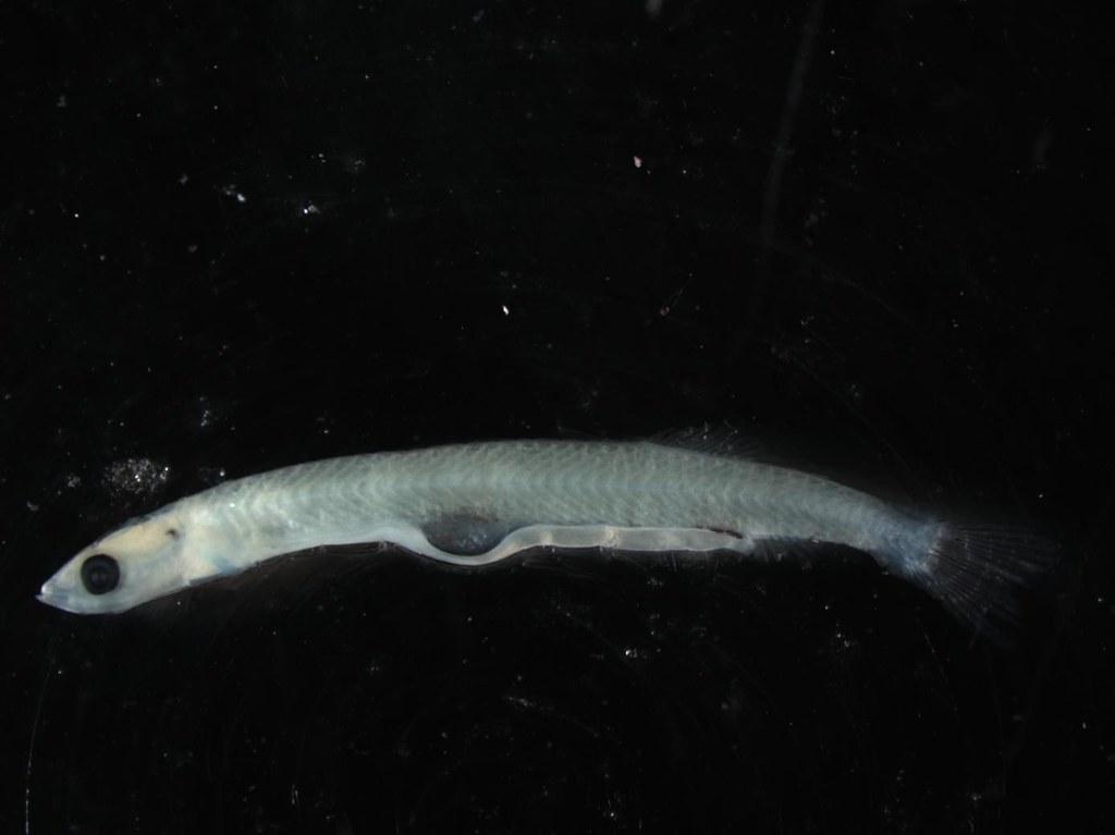 larval Milkfish Chanos chanos