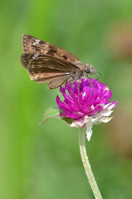 Butterfly - Horace's Duskywing