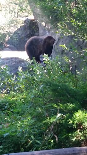 Woodland Park Zoo Brown Bear
