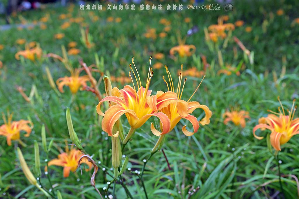 2016.09.25~台北木柵~文山區老泉里~慈音山莊~金針花