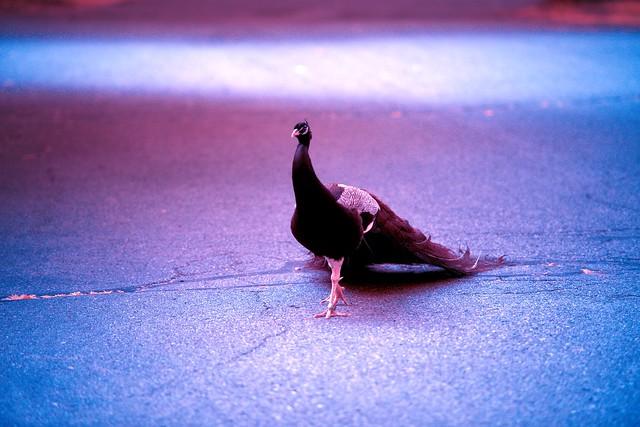 Peacock_54