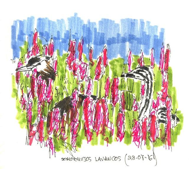 Somormujo lavanco (Podiceps cristatus)