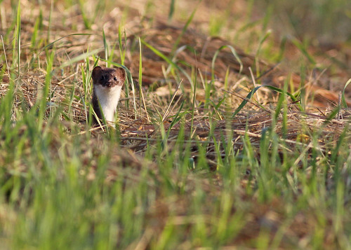 Weasel...#6 | by Guy Lichter Photography - Thank you for 3M views