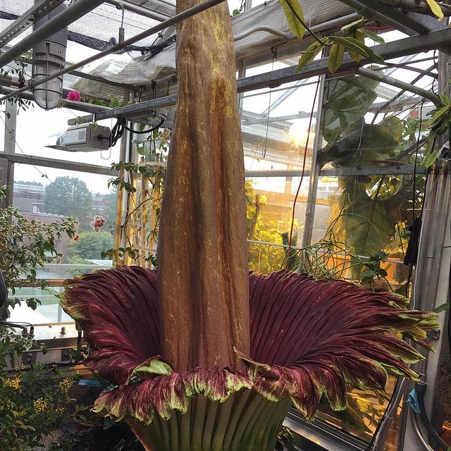 "Went to see the blooming corpse flower ""Monty"" at Dartmouth this morning. And it does smell that bad. 🌺😩😫😖 #corpseflower"