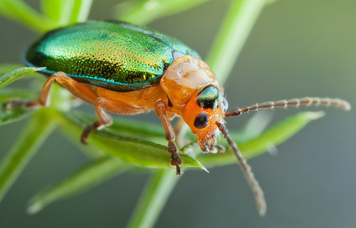 Shiny Leaf Beetle | by johnhallmen