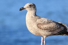 Western Gull Juvenile