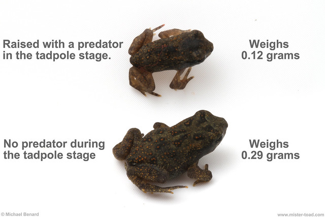 Toadlets come out smaller with predators