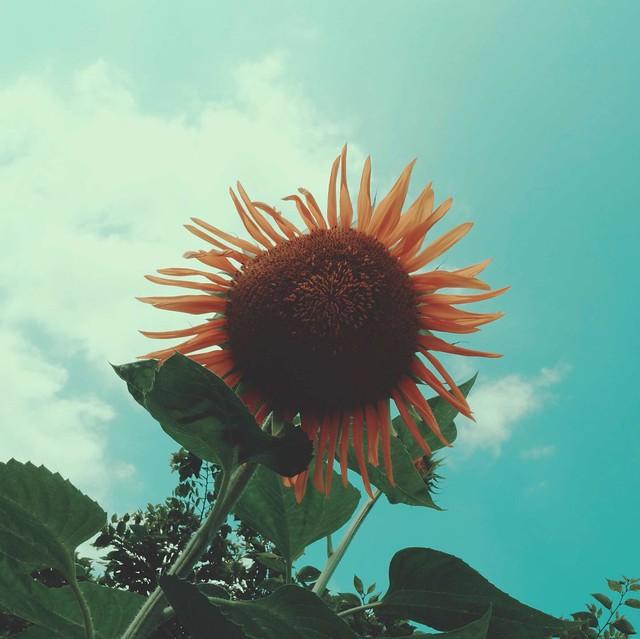 Sunflower (Stella Gold)