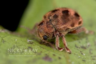 Leaf beetle (Eumolpinae) - DSC_9046